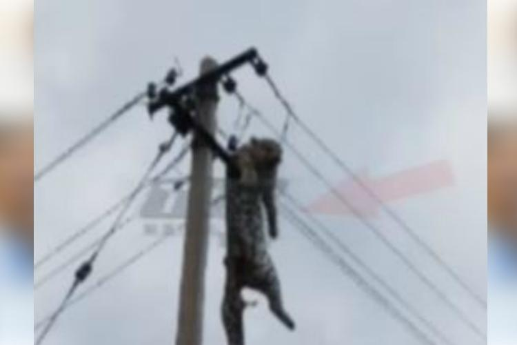 In strange and tragic death leopard found electrocuted atop pole in Telangana