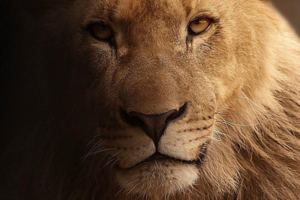 18 Gujarat lions under trial for killing 3 men will be locked up in zoo if guilty