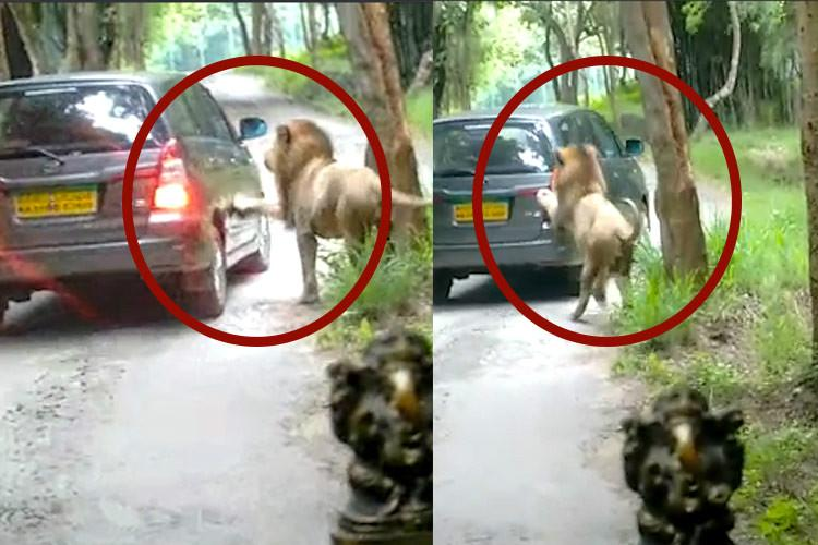Lions leapt at our car in Bannerghatta we freaked out so did the lions