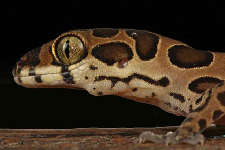 New lizard species discovered in Mumbai named after Bengaluru-based scientist