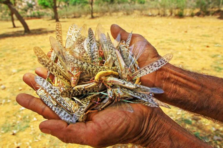 Farmers complain of locust attacks on crops in Tamil Nadu