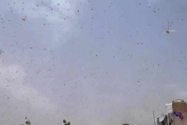 Locust swarms reach Gurugram and National Capital Region