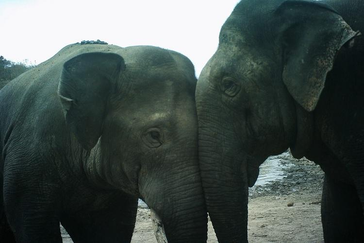 Elephants in south India are forming all-male groups to survive in human dominated areas