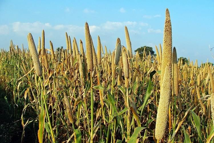 As Karnataka pushes for millets heres why they are the 21st century smart food
