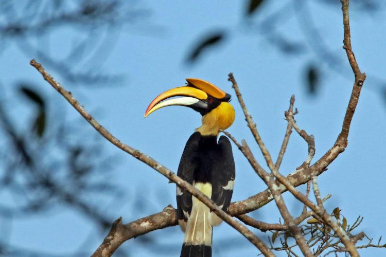 This tribal community has been protecting a hornbill habitat in Kerala for two decades