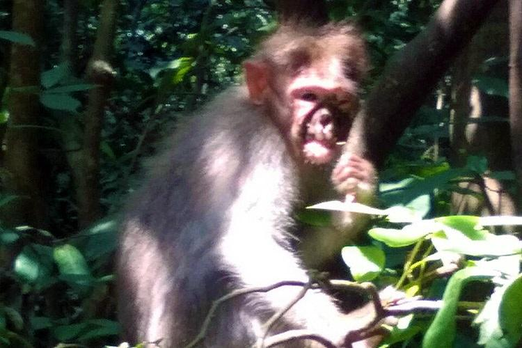Mysterious disease leaves 60 monkeys dead in six months at sacred grove in Kerala