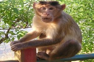 Uttarakhand turns into dumping ground for monkeys from UP