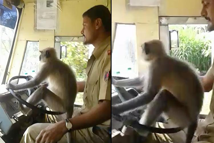Monkey business Karnataka driver suspended for letting langoor steer bus