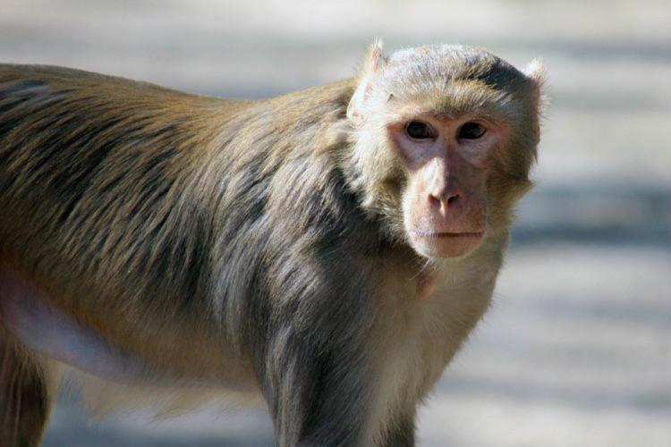 An image of the monkey for representation
