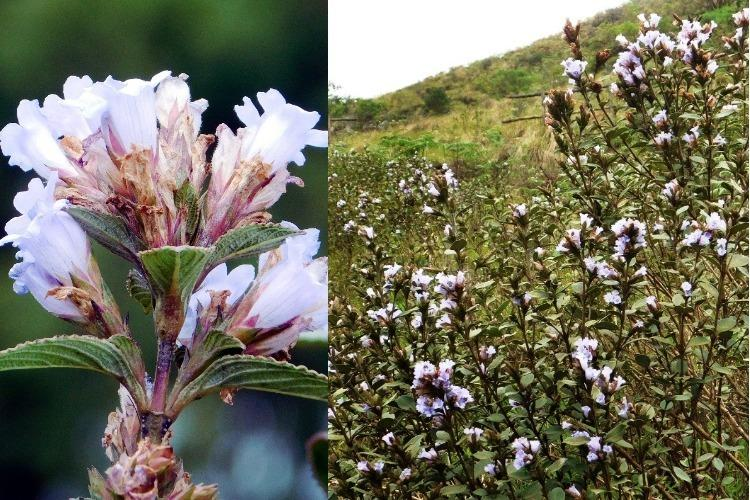 As the neelakurinji blooms in Munnar tourists start arriving to witness spectacle