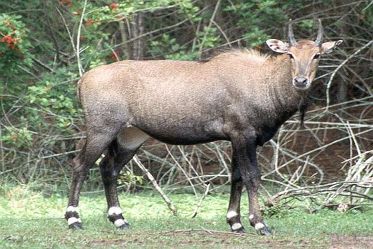 Rajasthan govt to adopt shoot to sterilise policy for Nilgais