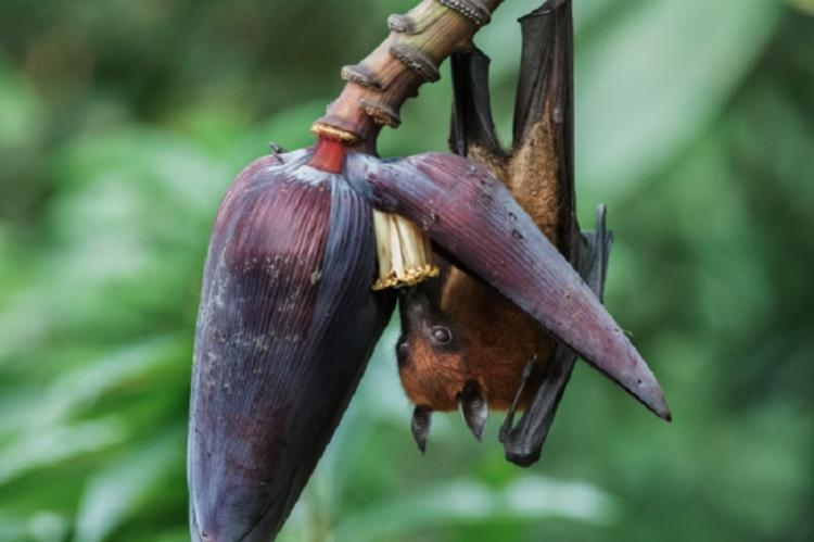 Fruit bats were the source of deadly Nipah Virus in Kerala Union Health Minister