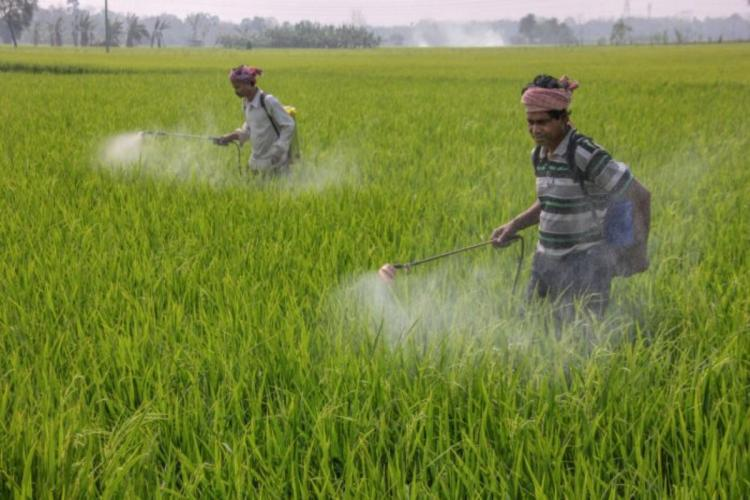 Two farmers with portable pesticide spraying equipment spraying pesticide in a paddy field with waist high standing crop