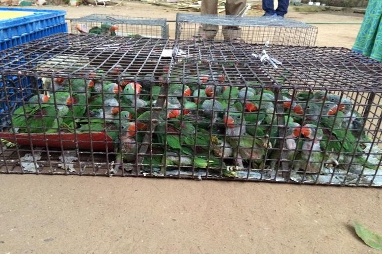 156 parakeets seized from a traders house in Chennai