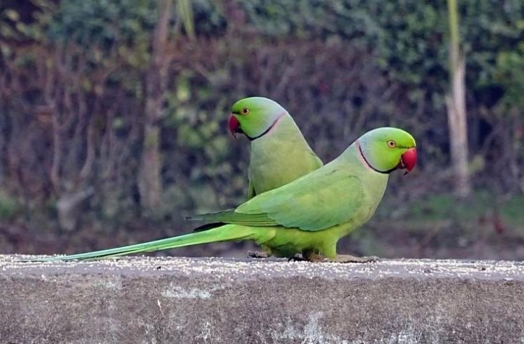 Drug-addicted parrots are plundering Indias poppy fields to get err high