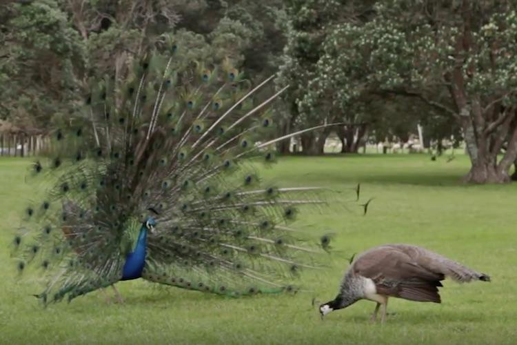 Peacock sex is breaking the internet thanks to one Rajasthan High Court judge