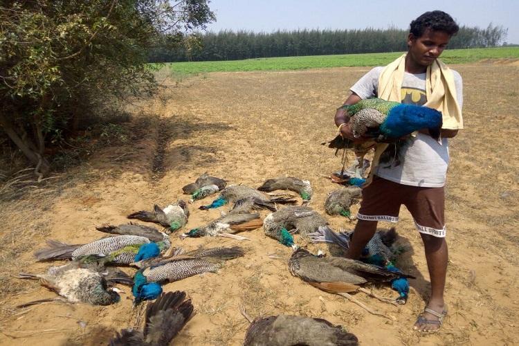 Twenty peacocks found dead in TN did they consume pesticides