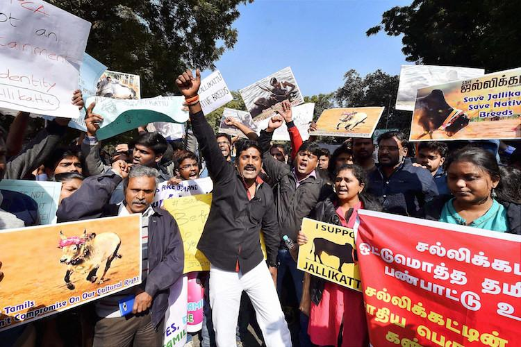 Why this jallikattu ordinance is better than Tamil Nadus 2009 law An explainer