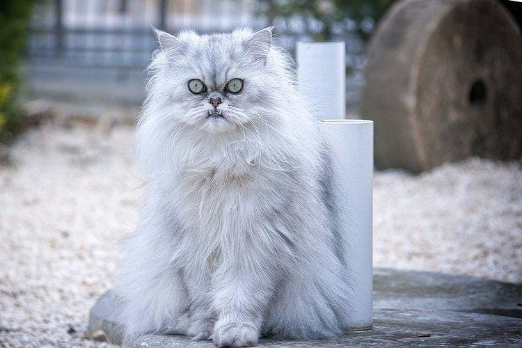 Meow a Tamil film with Persian cat in lead role