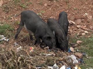 Bengaluru pig menace just got real four brain fever cases attributed to it