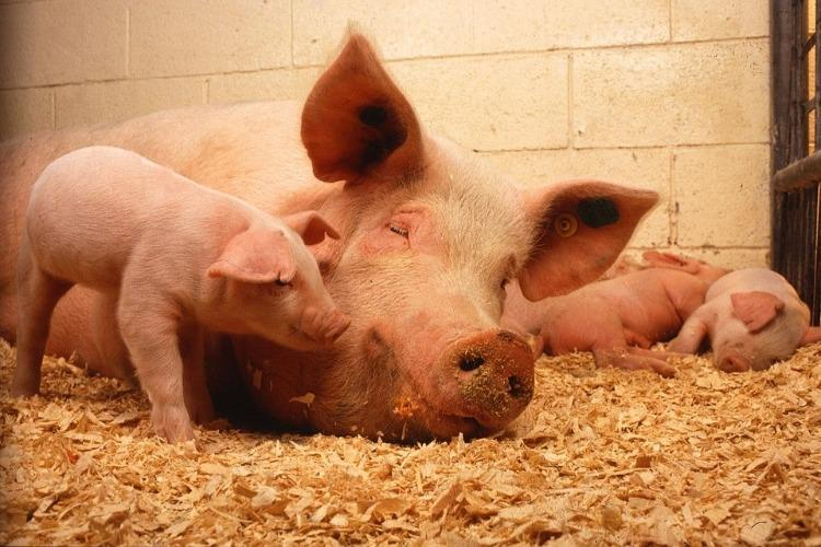 20 pigs culled at govt farm in Kerala as precaution against Malta fever