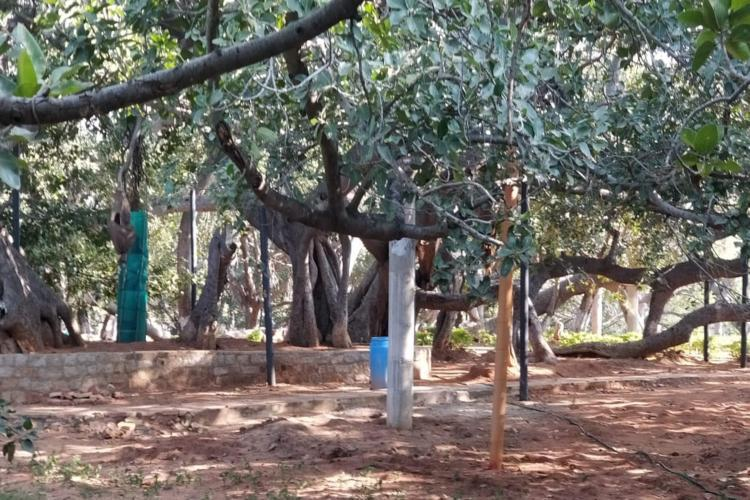 Forest officials revive legendary 700-year-old Pillalamarri banyan tree in Telangana