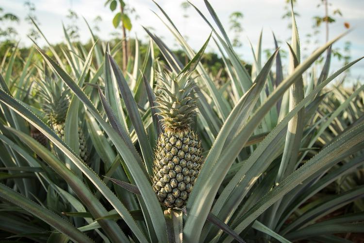 No workers no markets Losses loom for pineapple paddy farmers in Kerala Karnataka