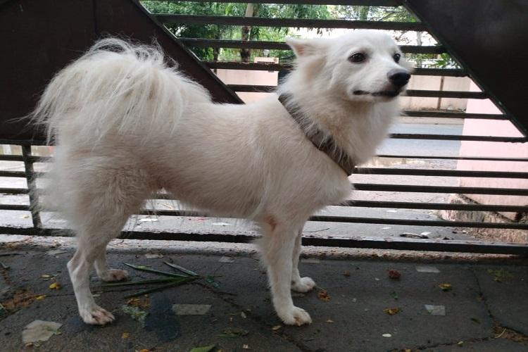 Pomeranian abandoned in Kerala owner claims it had illicit relationship