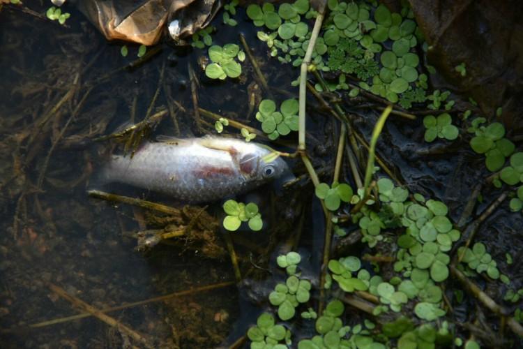 Telangana lake becomes graveyard of 70000 fish thanks to sewage medical waste