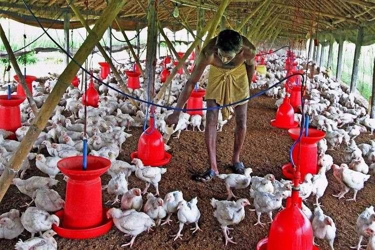 Indian poultry farms are breeding drug-resistant superbugs researchers warn