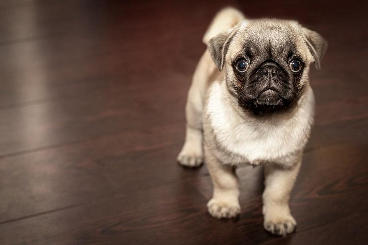 Stop using pugs in advertisements PETA urges Vodafone