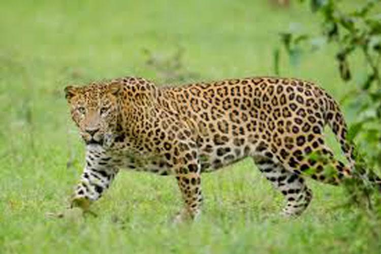 Kannur Leopard on the run after injuring three Sec 144 imposed
