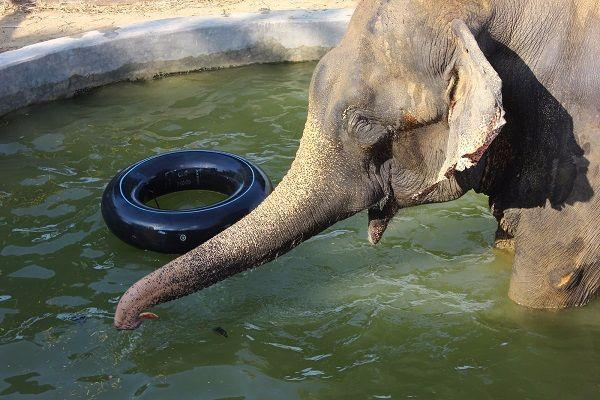 Mahout injured after elephant in Tirumala temple gets alarmed by bursting balloon