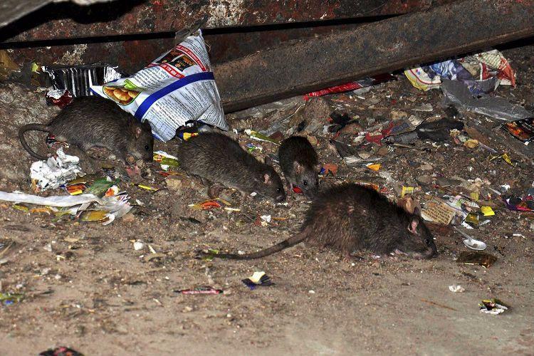 Railways hire contract killer to end rat menace