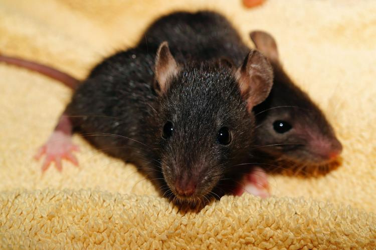 It costs Karnataka Rs 650 to catch a rat CM Siddaramaiah tells legislative council