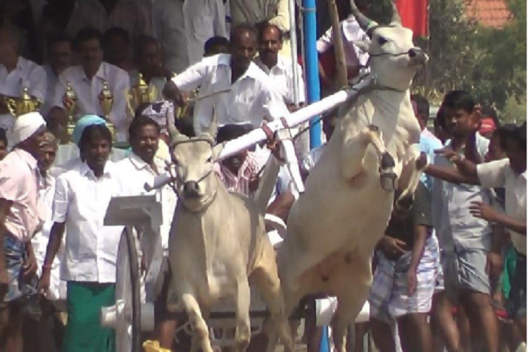 Bulls electrocuted bitten and tortured for rekla races in TN alleges PETA