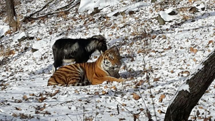 This goat didnt know it was supposed to fear the tiger they became friends