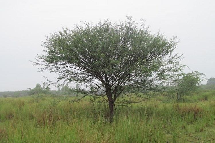 Is the Karuvelam tree an ecological threat Experts divided as Madras HC stays its eradication