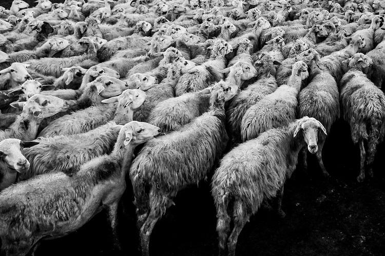 Anthrax attack in Tamil Nadu kills 37 sheep in Vellore