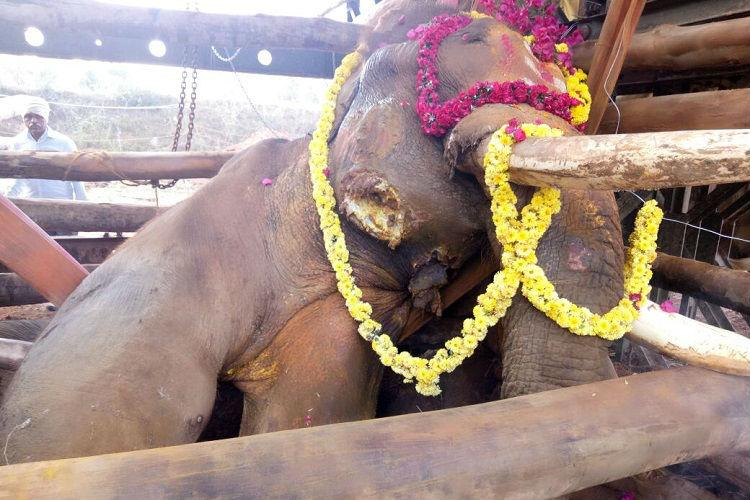 Rescued from Bengaluru outskirts Sidda elephant dies after prolonged battle with injuries