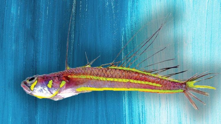 Rare colourful fish species which uses fins to communicate found off Kerala coast