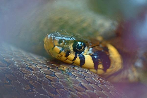 New anti-venom developed to save pets from snakebites