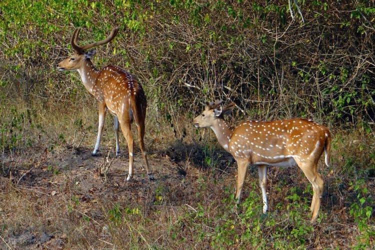 Nine rescued deer die at Guindy National Park in two months