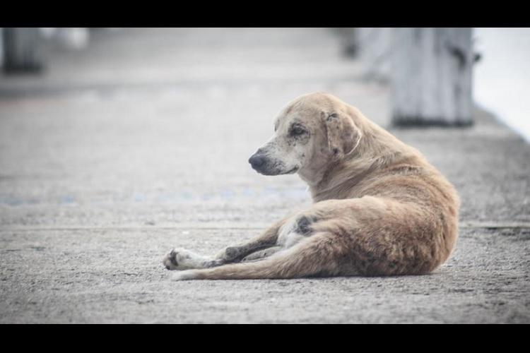 Stray dog attacks continue in Kerala at least 20 people injured in Perumbavoor in a single day