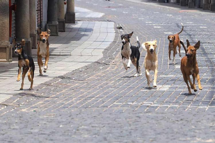 Street dogs running towards the camera