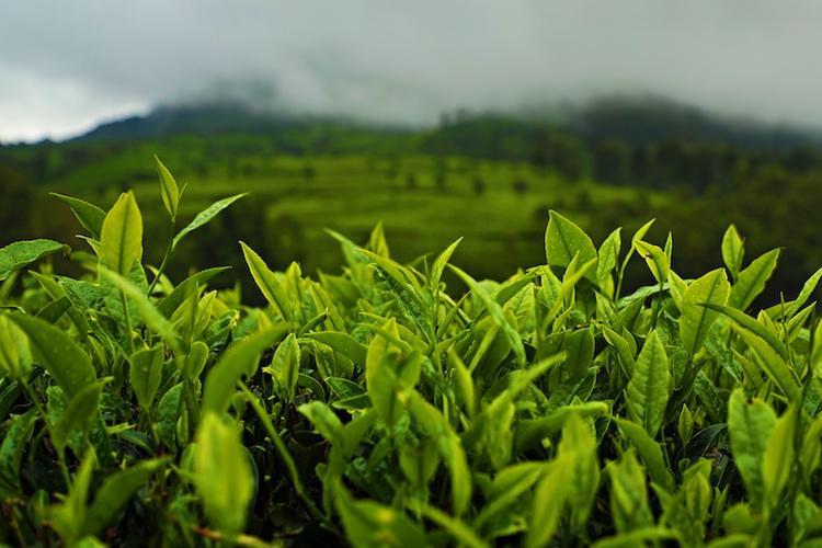 Why Kanan Devan Hills is among the best global spots for growing tea