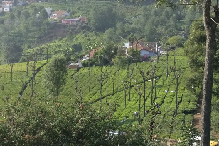 Dry storm in a tea cup A drought-hit Coonoor is suffering as tourism plantations lose money