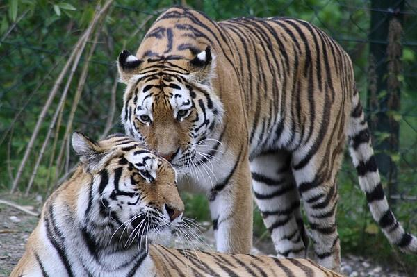Experts say recent survey claiming increase in tiger population is a myth