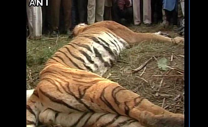 Villagers in UPs Bijnor district beat tiger to death after animal injures two