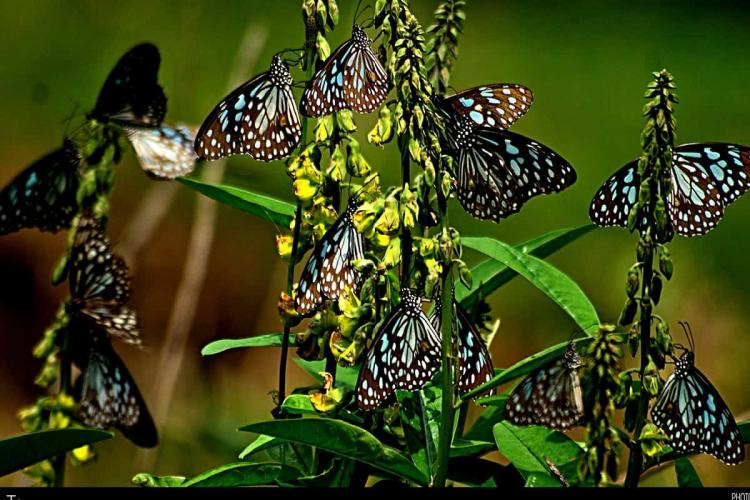 Tigers and crows butterflies migration